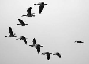 migrating geese