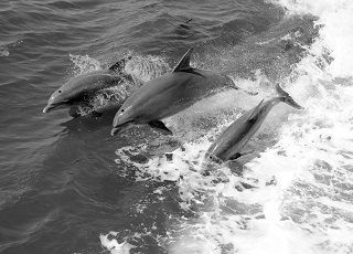 3 swimming dolphins
